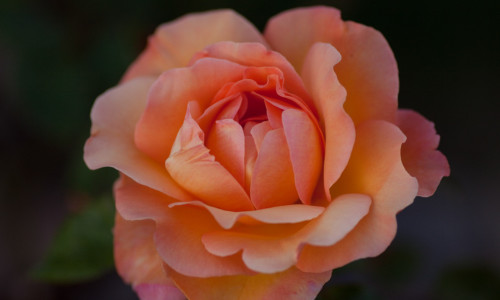 Beautiful Peach Rose